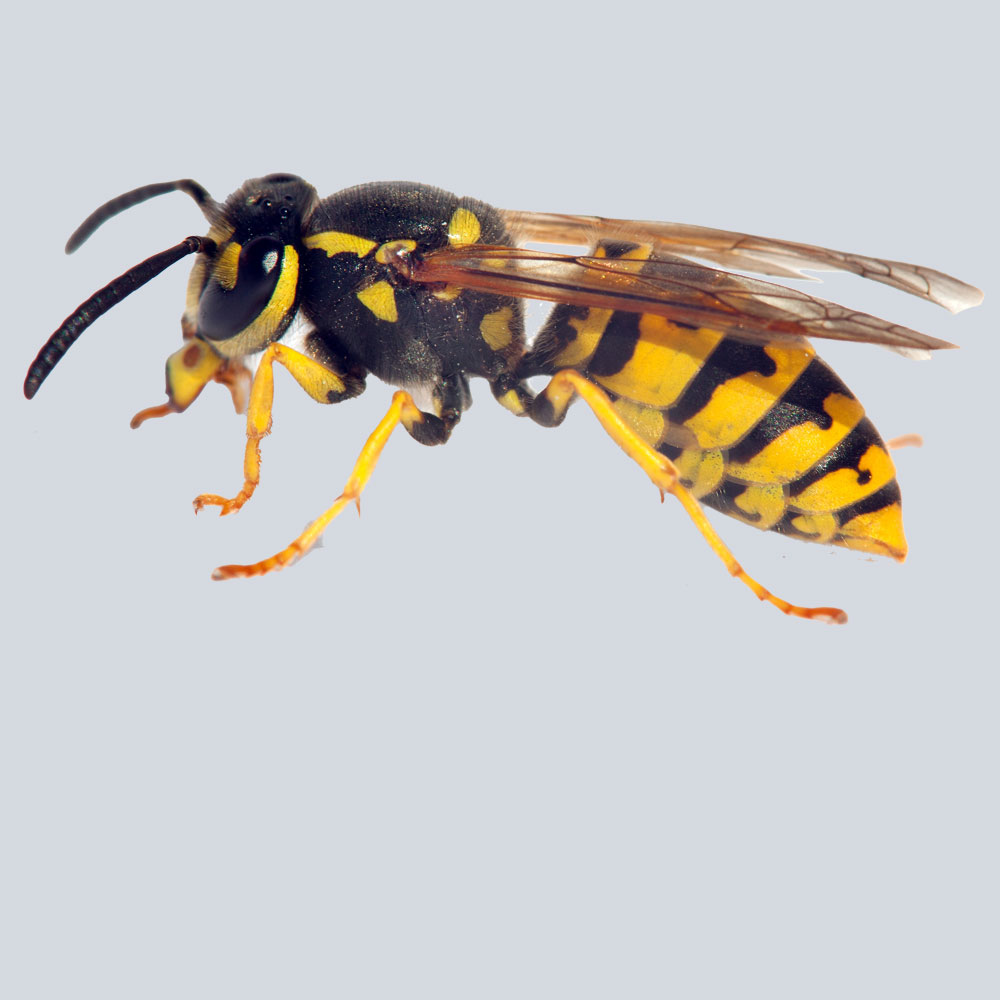 bees and wasp pest control